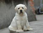 cku注册犬舍 双血统拉布拉多可上门挑选