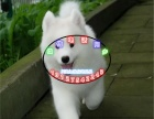 微笑天使 萨摩耶 犬舍长期批发零售各种宠物包健康