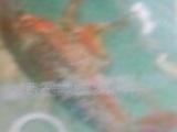 供应淡水龙虾种