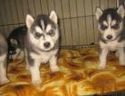 正规犬舍繁殖哈士奇等名犬 健康保障签协议包活可送货