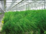 保健蔬菜种子芦笋种子(种苗)