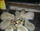金龟刺猬药材刺肉全国加盟发货加盟 种植养殖