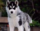 高品质纯种哈士奇犬,品相毛色漂亮,疫苗齐全健康保证