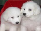 直销纯种大白熊幼犬疫苗已做 可上门挑选价格面议