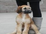 阿富汗猎犬钱 里有卖阿富汗的