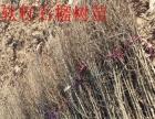 突尼斯软籽石榴树苗批发