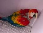 轉讓 大緋胸鸚鵡 凱克鸚鵡 玄鳳鸚鵡 金剛鸚鵡 善學說話