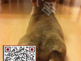 柯基犬多少钱,哪里有柯基犬,百分百纯种威尔斯柯基犬,包纯包健