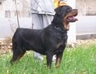 银川哪里卖罗威纳犬宠物狗价格便宜狗狗健康签协议包纯种