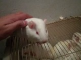 纯白豚鼠,荷兰猪