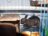 出售魔王松鼠,非常聪明的小松鼠