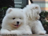 北京出售 萨摩耶犬 保纯种 三针疫苗齐全 健康血统有保障