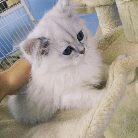 石家庄哪里有金吉拉猫卖 猫舍直销 健康活泼 包纯种 保养活