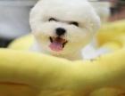 比熊幼犬多少钱一只 哪里可以买到比熊