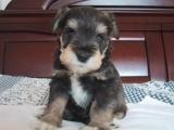 大型犬舍繁殖高品质雪纳瑞健康有保证欢迎上门