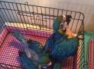 出售人工繁殖金刚鹦鹉 灰鹦鹉 葵花鹦鹉 亚马逊鹦鹉 善学说话