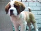 中山哪有圣伯纳犬卖 中山圣伯纳犬价格 中山圣伯纳犬多少钱