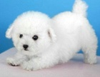 纯种活泼可爱的小白色迷你比熊宠物狗狗雪白迷你型