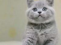 纯种英短蓝猫 蓝白