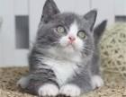 出售精品健康纯种 蓝白 宠物猫咪活体幼猫