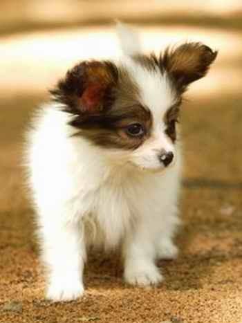 淄博什么地方有狗场卖蝴蝶犬/哪里有卖蝴蝶犬
