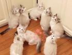 长春哪里有布偶猫卖?布偶猫可以养到多大?