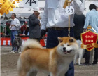 冠军后代双血统秋田犬一窝 证书可查可以看狗父母