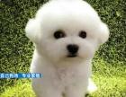 犬舍直销比熊宝宝,专业繁殖保纯种保养活,免费送狗狗上门