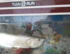 银龙鱼长60公分