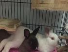 出家养喜马拉雅兔 暹罗侏儒兔
