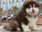 广州哪里有阿拉斯加卖 阿拉斯加哪里出售的纯种健康 巨型熊版