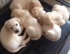 牟定县买狗 楚雄牟定拉布拉多在哪里买狗场高品质拉布拉多犬出售