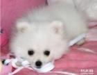 重庆哪里有卖银狐 重庆卖狗网 重庆银狐价格好多
