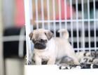 潍坊哪里有纯种八哥犬 潍坊鹰版八哥多少钱 哪里卖便宜八哥出售