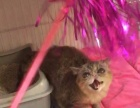 异国短毛猫咖菲猫,眼鼻一线