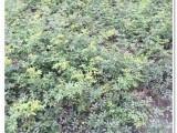 绵阳花叶芦竹水生植物基地批发
