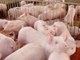 育肥猪怎么养猪养的好 看看优农康养殖户怎么说