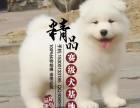 河南哪里卖纯种萨摩耶幼犬