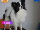 哪里有卖蝴蝶犬犬蝴蝶犬犬多少钱 支持全国发货