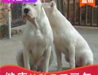 本地出售纯种杜高幼犬,十年信誉有保障