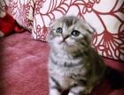 多窝可选 北京实体猫舍 专业繁殖 赛级 纯种 美短猫