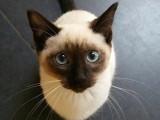 专业繁殖精品加暹罗猫疫苗齐全 活泼可爱 超长保质支持货到付款