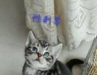 出售自养美国短毛猫