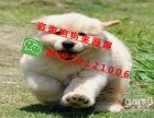 三个月大的金毛幼犬出售公母都有驱虫疫苗都做好了