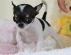 重庆本地犬舍出售纯种,吉娃娃,质保三个月