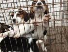 温州比格的价格是多少 温州比格多少钱一只 温州出售纯种比格犬