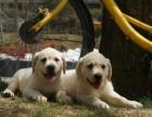 诚信犬舍一纯种拉布拉多幼犬一保健康半年一保养活一送用品
