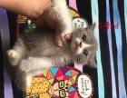 出售英短蓝白猫咪