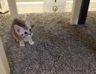 自己养的美短小猫咪