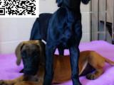 哪里有卖大丹犬的 怎么才能买到纯种健康的大丹犬